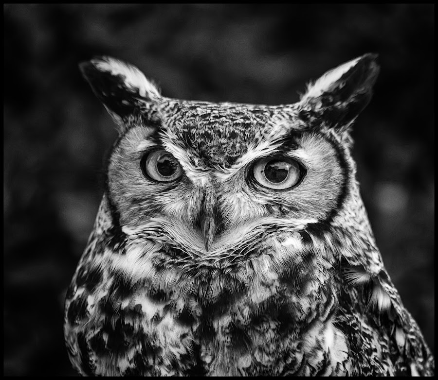 Mister Wilson  Great Horned Owl by Dave Lipchen - Black & White Animals ( great horned owl )
