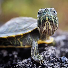 Look at You! by Wahyu Jr. Abadi - Animals Amphibians ( face, fauna, geghans, amphibian, satwa, amphibians, turtle, surabaya, animal,  )