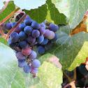 Pacific grape