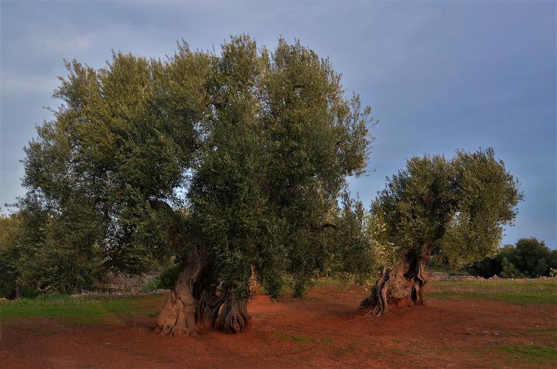 Secolari giganti di Puglia di ely50