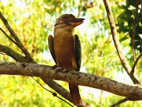 Photo: AUSTRALIE-Martin-chasseur à ailes bleues