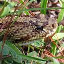 Central American Rattlesnake (Cascabel)