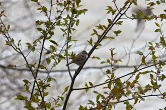 Photo: Chipping sparrow