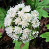 Arctic sweet coltsfoot