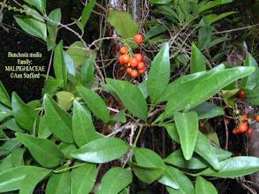 Photo: Bunchosia - Bunchosia media, MALPIGHIACEAE, shrub with that grows in dry rocky woodlands. Grand Cayman, Little Cayman, Cuba, Jamaica and Hispaniola Photo: Ann Stafford, June 5, 2002 Proctor's Flora of the Cayman Islands 2012 p.507