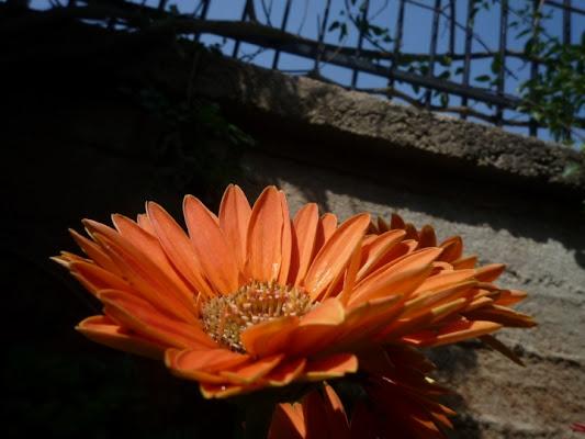 Gerbera solare di giankydrago