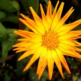 Flower for the Sun by Allmen Quester - Flowers Single Flower