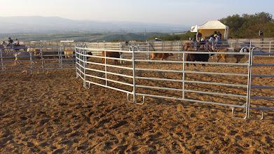 """Photo: Nous avons notamment assisté à une partie de l'épreuve de """"sorting"""" qui consiste à faire passer des vaches d'un enclos à un autre (les 2 morceaux d'un 8) dans un ordre précis et dans un temps limité, par 2 cowboys à cheavl !"""