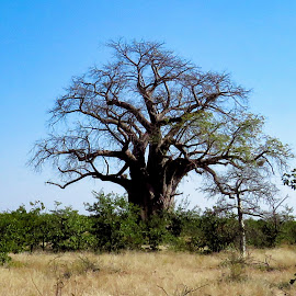 Baobab Tree by Pieter J de Villiers - Nature Up Close Trees & Bushes