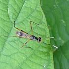 Stilt Legged Fly