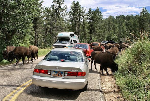 Sulla strada dei bisonti di aldo57