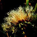 Dandelion (seeds)