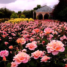 the rose garden by Fred Goldstein - Flowers Flower Gardens ( marrakech, hotel, garden, morocco, roses )