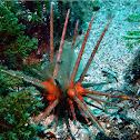 Red Lance Urchin