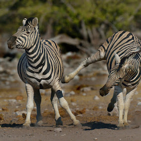 Zebra Sidekick by Jan Jacobs - Animals Other