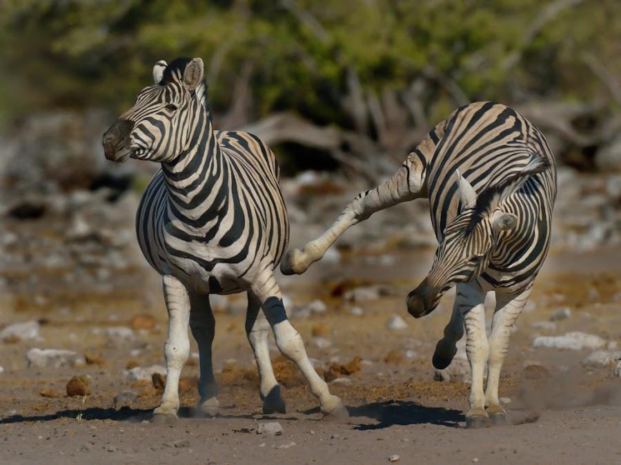 Zebra Sidekick by Jan Jacobs - Animals Other