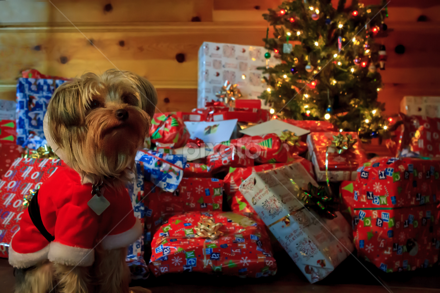 Dog House Christmas  by Paul Judy - Public Holidays Christmas ( tree, pwcholidays, christmas, dog, presents )