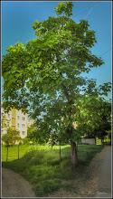 Photo: Arborele Trompeta - Catalpa (Catalpa bignonioides) - de pe Calea Victoriei, Nr.11,13 - 2017.06.03