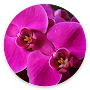 Orchid flowers Wallpaperhd APK icon