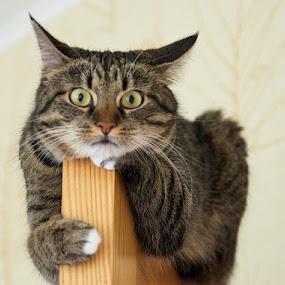by Renata Apanaviciene - Animals - Cats Portraits ( looking, cat, pet, play, portrait, animal )