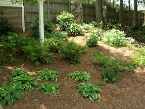 Photo: Ferns and Hostas in Dorothy's Shade Garden