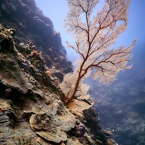 A single fan by Brett Styles - Landscapes Underwater ( coral, reef, sea, fan,  )