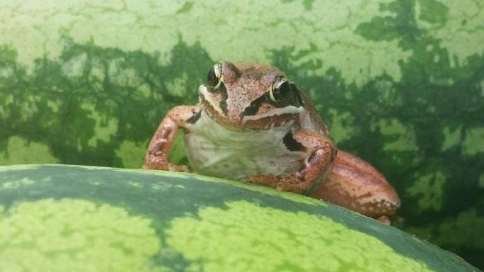 Frog & Watermelons.jpg