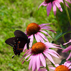 Daises with black butterfly. by Peter DiMarco - Flowers Flower Gardens ( pink flower, fower and butterfly, flowering, daisies, flower,  )