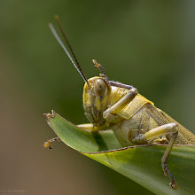 Photo: Salute! An old shot of a Valanga nigricornis grasshopper with my D70 from 2005.  #BuggyFriday