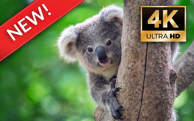 Koalas HD Wallpapers - Custom New Tab