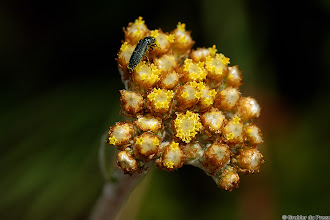 Photo: An insect covered with pollen on what I think is Helichrysum nudifolium, the Hottentots Tea. Marakele National Park, South Africa.