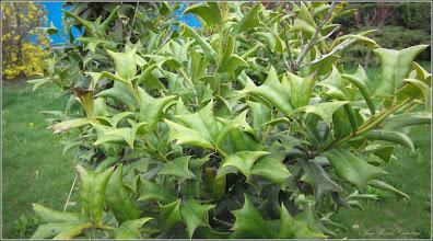 Photo: Laur (Ilex aquifolium variegata) - de pe Str. Andrei Muresanu, spatiu verde - 2018.04.13