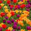 tulip garden #1 by Frank Barnitz - Flowers Flower Gardens ( colorful, tulips, flowers )