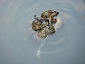 Photo: 搶交配的盤古蟾蜍