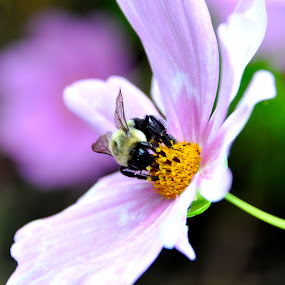 dinner time by Jean-Pierre Machet - Animals Other ( taon on flower, nature, taon, insect )