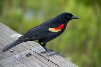 Photo: Black Bird @ Wakodahatchee Wetlands, FL - http://photo.leptians.net
