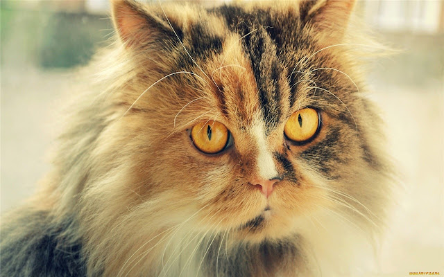 Cat Persian Themes & New Tab