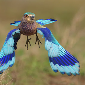 Indian roller by Raj Dhage - Animals Birds ( nikon rajdhage )