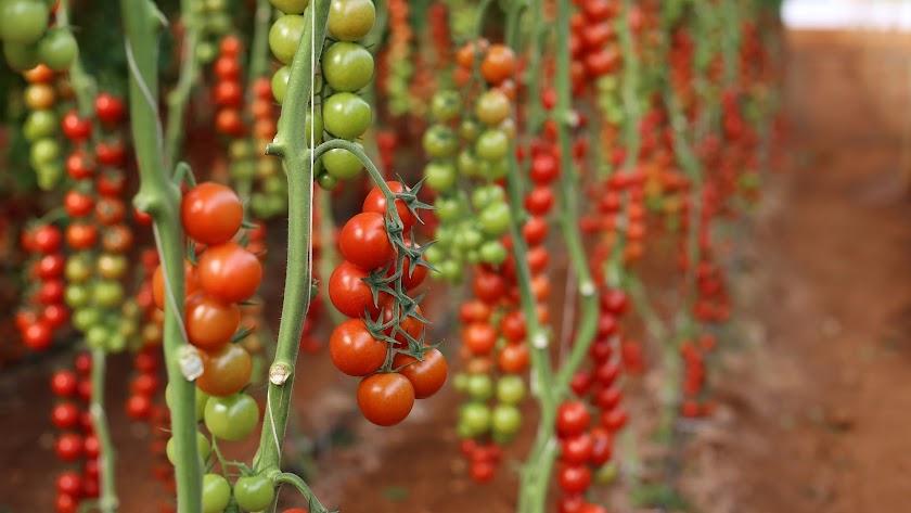 Cultivo de tomate.