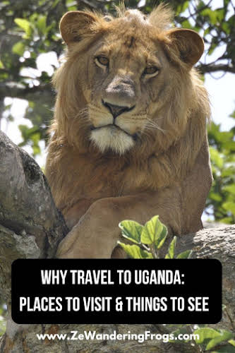 Why Travel to Uganda: Places to Visit & Things to See // Tree Lion - Photo Credit: Sarah Pipher - Pixabay Free for commercial use-No attribution required Pinterest