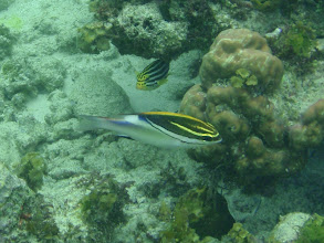 Photo: Scolopsis bilineata (Two-lined Monocle Bream), Siquijor Island, Philippines