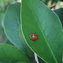 No-Spotted Ladybug