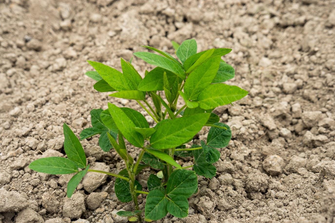 生育中の黒千石大豆