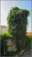 Photo: Viță de Canada (Parthenocissus quinquefolia) in aglomeratie cu alte plante (ex: hamei) - de pe Calea Victoriei, zona Penny - 2017.08.14