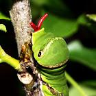 Common Mormon/ Swallowtail butterfly Caterpillar