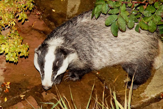 Photo: STOP THE SLAUGHTER DEFRA ~ The aim to kill 70% of BADGERS is WRONG