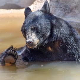 Bear by Dawn Hoehn Hagler - Animals Other Mammals ( tucson, arizona, desert museum, bear, zoo, water )