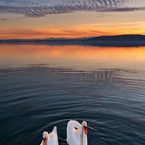 Swan lake by Nikos Koutoulas - Landscapes Waterscapes ( clouds, swans, greece, lake, ηλιοβασίλεμα, σύννεφα, κύκνοι, sunset, ελλάδα, kastoria, swan, καστοριά, κύκνος, λίμνη )
