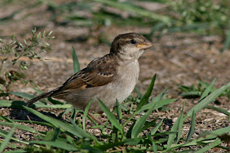 Photo: #BirdPoker Portraits curated by +Phil Armishaw  An immature House Sparrow to +Dusty Gedge :)