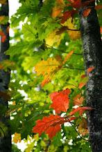 Photo: Oak leaves